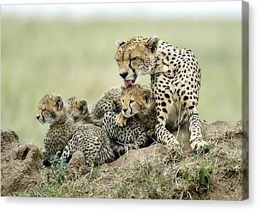 Cheetah Canvas Print - Cheetahs by Giuseppe D\\\'amico