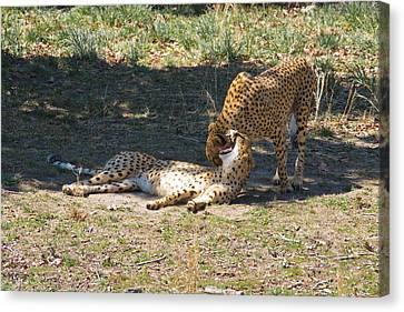 Cheetahs Playing Canvas Print
