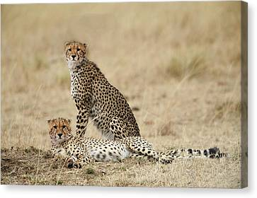 Cheetahs Resting Canvas Print by Phyllis Peterson