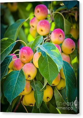 Chelan Apples Canvas Print
