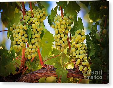 Chelan Grapevines Canvas Print by Inge Johnsson