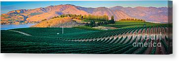 Chelan Vineyard Panorama Canvas Print by Inge Johnsson