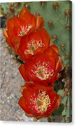 Canvas Print featuring the photograph Chenille Prickly Pear Quartet by Cindy McDaniel