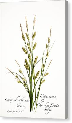 Cherokee Caric Sedge Canvas Print