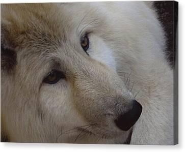 Montana Wolf  Canvas Print