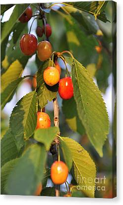 Cherries On Branch At Spring Canvas Print by Sami Sarkis