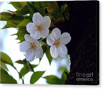 Canvas Print featuring the photograph Cherry Blossom by Andrea Anderegg