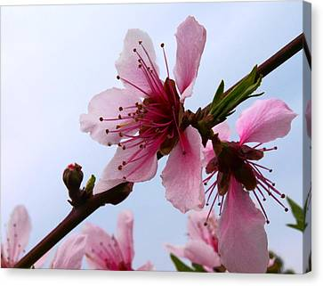 Cherry Blossom Canvas Print by Camille Lopez
