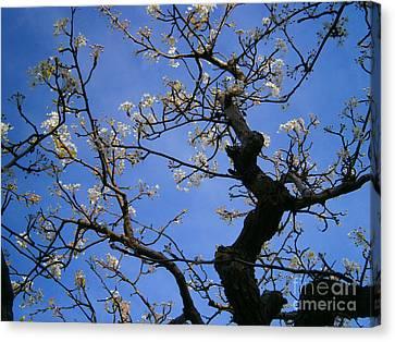 Cherry Blossom Canvas Print by Drew Shourd