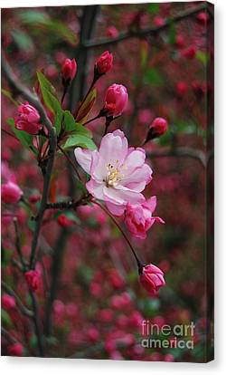 Canvas Print featuring the photograph Cherry Blossom by Eva Kaufman