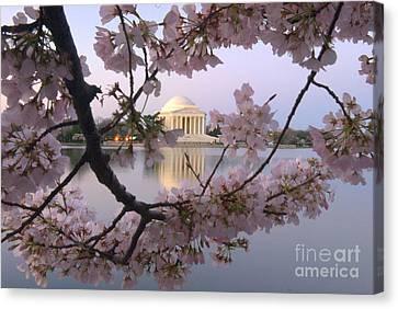 Cherry Blossom Festival   Dc Canvas Print