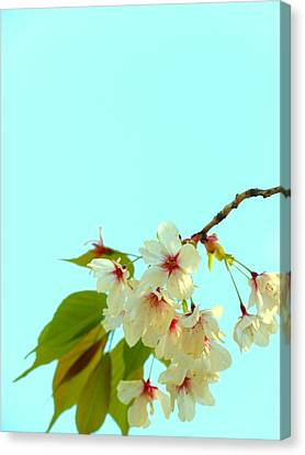 Cherry Blossom Flowers Canvas Print by Rachel Mirror