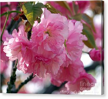 Canvas Print featuring the photograph Cherry Blossom by Gena Weiser