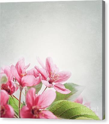 Cherry Blossom Canvas Print by Jelena Jovanovic