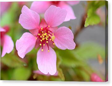 Cherry Blossom Canvas Print by Lisa Phillips