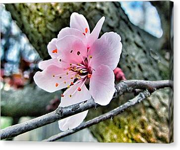 Cherry Blossom  Canvas Print by Marianna Mills