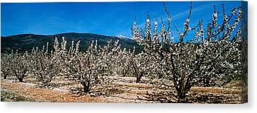 Cherry Blossoms Canvas Print - Cherry Blossom, Mont Ventoux by Panoramic Images