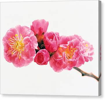 Cherry Blossom Canvas Print by Panoramic Images
