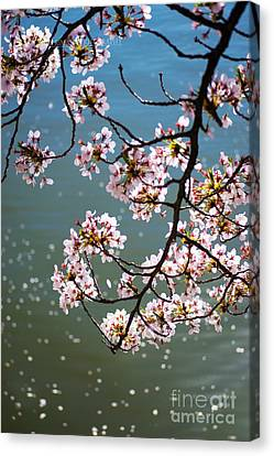 Cherry Blossom Canvas Print by Rima Biswas