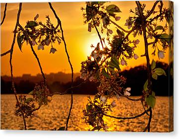 Canvas Print featuring the photograph Cherry Blossom Sunset by Mitchell R Grosky
