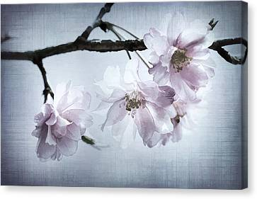 Cherry Blossom Sweetness Canvas Print by Kathy Clark