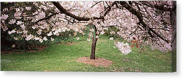 Cherry Blossom Tree In A Park, Golden Canvas Print