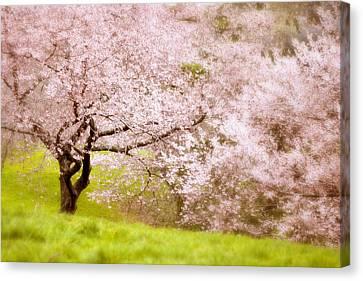 Cherry Blossom Tree  Canvas Print by Jessica Jenney