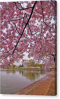 Cherry Blossom Tree Canvas Print by Mitch Cat