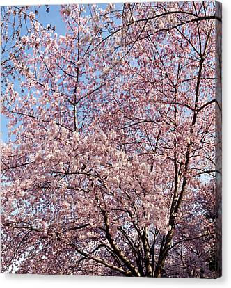 Cherry Blossom Trees In Full Bloom Canvas Print
