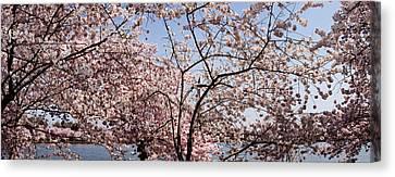 Cherry Blossom Trees Canvas Print