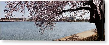 Cherry Blossom Trees With The Jefferson Canvas Print