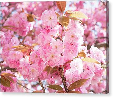 Cherry Blossom Canvas Print by Wladimir Bulgar