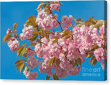 Cherry Blossoms 2 Canvas Print by Sharon Talson