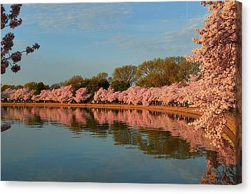 Cherry Blossoms 2013 - 001 Canvas Print by Metro DC Photography