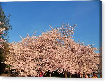 Cherry Blossoms 2013 - 011 Canvas Print by Metro DC Photography