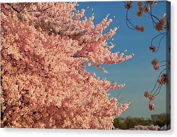 Cherry Blossoms 2013 - 013 Canvas Print by Metro DC Photography
