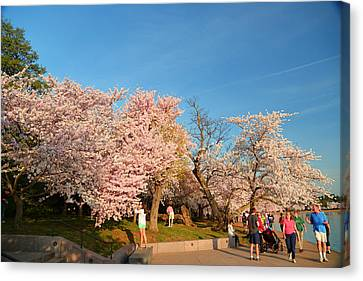 Cherry Blossoms 2013 - 015 Canvas Print by Metro DC Photography