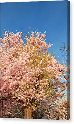 Cherry Blossoms 2013 - 016 Canvas Print by Metro DC Photography