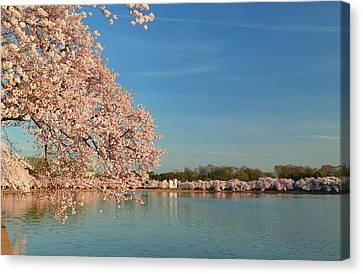 Cherry Blossoms 2013 - 017 Canvas Print