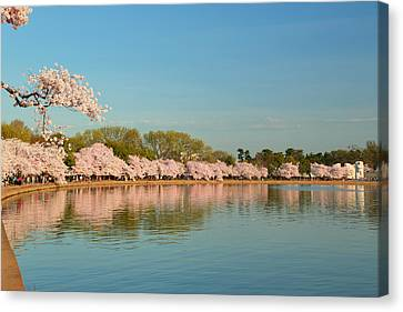 Cherry Blossoms 2013 - 018 Canvas Print by Metro DC Photography
