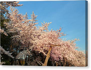 Cherry Blossoms 2013 - 019 Canvas Print by Metro DC Photography