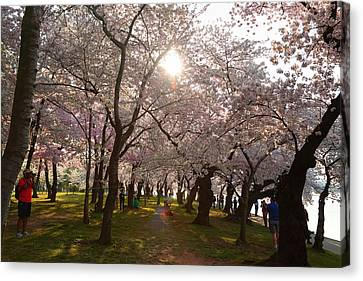 Cherry Blossoms 2013 - 027 Canvas Print by Metro DC Photography