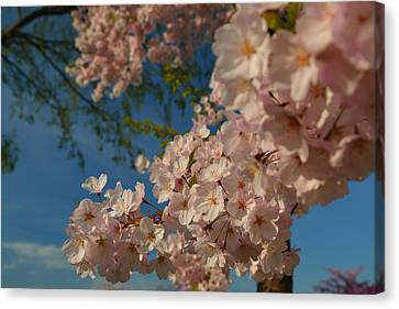 Metro Canvas Print - Cherry Blossoms 2013 - 035 by Metro DC Photography