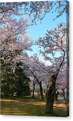 Cherry Blossoms Canvas Print - Cherry Blossoms 2013 - 043 by Metro DC Photography