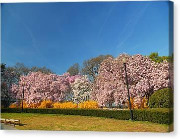 Cherry Blossoms 2013 - 052 Canvas Print