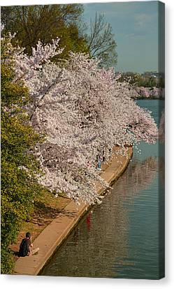 Cherry Blossoms 2013 - 053 Canvas Print by Metro DC Photography