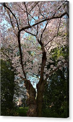 Cherry Blossoms 2013 - 056 Canvas Print