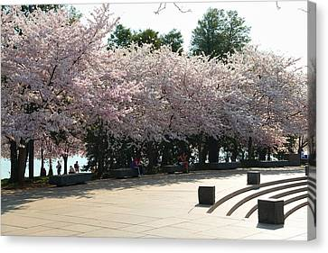 Cherry Blossoms 2013 - 059 Canvas Print by Metro DC Photography
