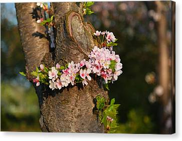 Cherry Blossoms 2013 - 064 Canvas Print by Metro DC Photography