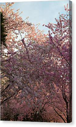 Cherry Blossoms 2013 - 065 Canvas Print by Metro DC Photography